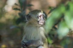 Baby vervet Affe, der weg in den Abstand anstarrt Lizenzfreie Stockfotos