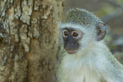 Baby vervet Affe, der weg in den Abstand anstarrt Stockbilder