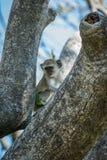 Baby vervet Affe im Baum, der Kamera gegenüberstellt Stockbilder