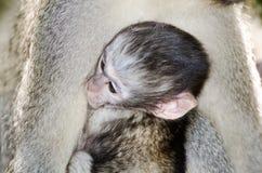 Baby Vervet-Affe mit Mutter Stockbilder