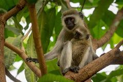 Baby vervet Affe und Mutter auf Niederlassung Stockbilder