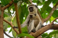 Baby vervet Affe und Mutter in den Niederlassungen Stockbilder