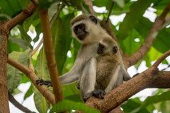 Baby vervet Affe und Mutter im Baum Stockfoto