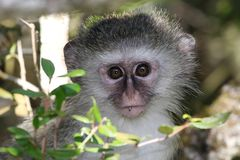 Baby Vervet Monkey Stock Photos