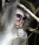 Baby Vervet Monkey Royalty Free Stock Images