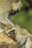 Baby vervet monkey being checked for ticks Royalty Free Stock Photos