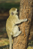 Baby vervet monkey climbing tree and sucking sap Stock Images