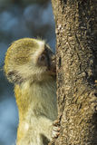 Baby vervet monkey climbing tree and sucking sap Royalty Free Stock Images
