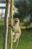 Baby vervet monkey climbing a wooden pole Royalty Free Stock Images