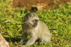 Baby vervet monkey foraging in the grass Stock Image