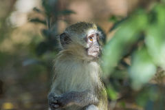 Baby vervet monkey gazing off into the distance Royalty Free Stock Photos