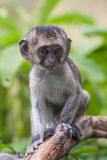 Baby vervet monkey licking and holding branch, Addo Elephant National Park Stock Image