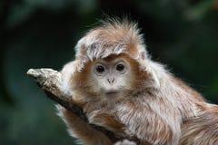 Baby Vervet Monkey Stock Photo