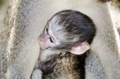 Baby Vervet monkey with mother Stock Images