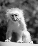 Baby Vervet Monkey Stock Images