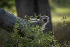 Baby vervet monkey peeping past leafy bush Royalty Free Stock Photos