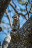 Baby vervet monkey scratching nose facing camera Stock Photos