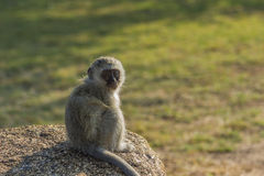 Baby vervet monkey sitting on a rock Stock Photo