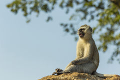 Baby vervet monkey sitting on a rock Stock Photography