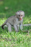 Baby Vervet Monkeys Stock Photography