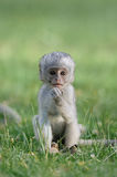 Baby Vervet Monkeys Royalty Free Stock Image