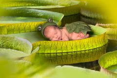 Baby on a victoria regina lotus leaf. Baby in frog outfit sleeping on a giant victoria regina lotus leaf stock photo