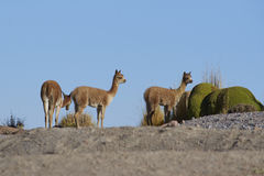 Baby Vicuna on the Altiplano, Chile Royalty Free Stock Photo