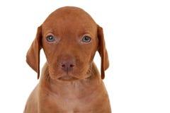 Baby vizsla dog. Cloaeup picture of a baby vizsla dog, over white background Stock Photos