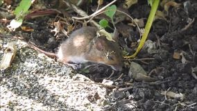 Baby vole foraging for food in the undergrowth. Video of a baby vole emerging from hibernation and foraging for food in the undergrowth june 2018 stock video