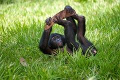 Baby von Bonobo liegend auf dem Gras Demokratische Republik Kongo Lola Ya-BONOBO Nationalpark Lizenzfreies Stockfoto