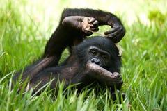 Baby von Bonobo liegend auf dem Gras Demokratische Republik Kongo Lola Ya-BONOBO Nationalpark Stockbilder