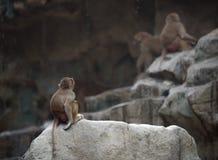 Baby von Hamadryas-Pavian Lizenzfreie Stockfotos