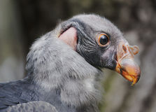 Baby Vulture Stock Image