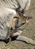 Baby wallaby. Joey in pouch stock images