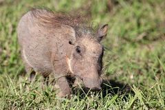 Baby Warthog Stock Photo