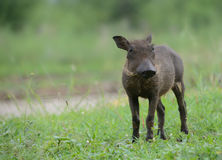 Baby warthog in Kruger Park Stock Images