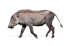 Free Baby Warthog Walking Side Isolated Royalty Free Stock Photography - 147540337