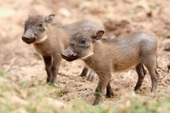 Baby Warthogs royalty free stock photography