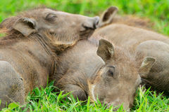 Baby warthogs sleeping in grass Stock Photos