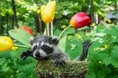 Baby-Waschbär in einem Blumentopf Stockbilder