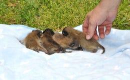 Baby-Waschbären auf Decke Stockfotografie