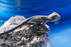 Baby Water Dragon Royalty Free Stock Photos