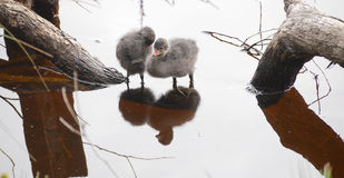Baby water hens. A pair of Eurasian Coot chicks (Fulica atra) standing knee deep in water. Photographed in the Adelaide Hills, South Australia Stock Image