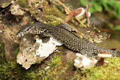 Baby water monitor Royalty Free Stock Photography