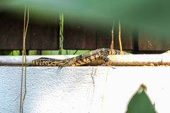 The baby of Water monitor or Varanus Salvator lay on the concret. E wall, Varanus Salvator is the reptiles in South Asia and Southeast Asia Royalty Free Stock Photos