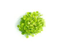Baby Watercress Plant Royalty Free Stock Photos