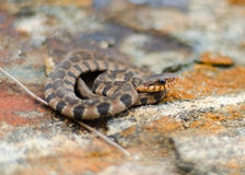 Baby Watersnake. Baby Northern Watersnake camouflaged on rust colored rock Royalty Free Stock Photography