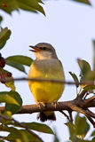 Baby Western Kingbird Saskatchewan. Western Kingbird perched in tree Saskatchewan Stock Images