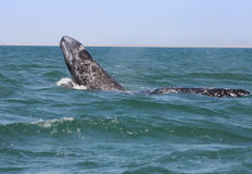 Baby whale breaching. While swimming next to its mother stock photos