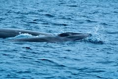 Baby whale with its mother stock images